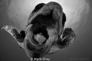 Loggerhead Biting the Dome by Mark Gray